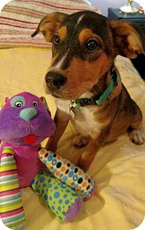 Shepherd (Unknown Type)/Labrador Retriever Mix Puppy for adoption in Huntsville, Alabama - Bubba