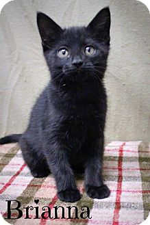 Bombay Kitten for adoption in Taylor Mill, Kentucky - Brianna-DECLAWED Kitten