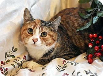 Domestic Shorthair Kitten for adoption in Bristol, Connecticut - Buttons