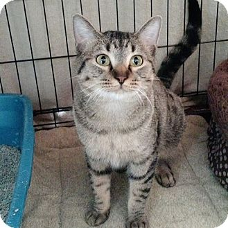 Domestic Shorthair Cat for adoption in Chisholm, Minnesota - Spirit