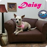 Adopt A Pet :: Daisy - Arcadia, FL