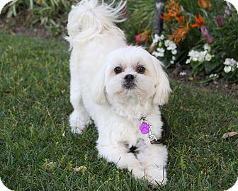 Maltese/Shih Tzu Mix Dog for adoption in Newport Beach, California - KEITH