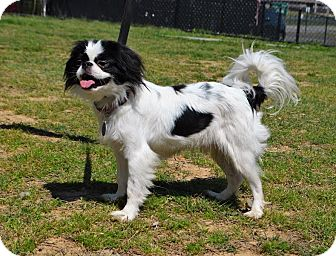 Japanese Chin/Japanese Chin Mix Dog for adoption in Westport, Connecticut - *Mogley - PENDING