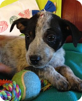 Cattle Dog Mix Puppy for adoption in Mount Holly, New Jersey - Reign