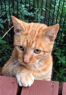 Domestic Shorthair/Domestic Shorthair Mix Cat for adoption in Noblesville, Indiana - Mitch
