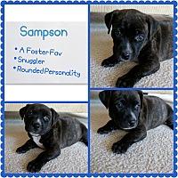 Adopt A Pet :: Sampson - Oviedo, FL