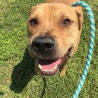 Adopt A Pet :: buddy - Land O'Lakes, FL
