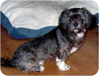 Lhasa Apso Dog for adoption in San Diego, California - Scruffy