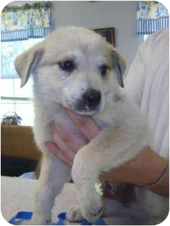 Great Pyrenees/Bernese Mountain Dog Mix Puppy for adoption in Bel Air, Maryland - Purity