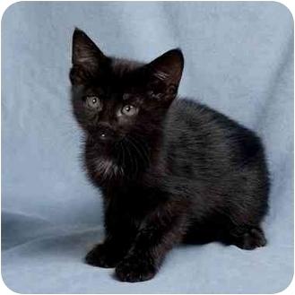 Domestic Shorthair Kitten for adoption in Anna, Illinois - FLICKA