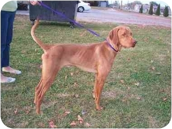 Vizsla Mix Dog for adoption in Shenandoah, Iowa - Duncan