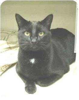 Domestic Shorthair Cat for adoption in Mesa, Arizona - Wyatt
