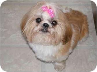 Shih Tzu Dog for adoption in Center Moriches, New York - Cupcake