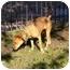 Photo 2 - German Shepherd Dog Mix Dog for adoption in Sacramento, California - Cinnamon