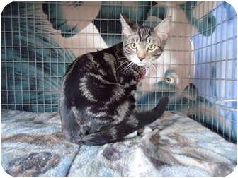 Domestic Shorthair Cat for adoption in Turlock, California - 0823-1124