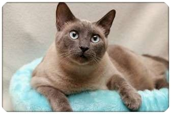 Siamese Cat for adoption in Sterling Heights, Michigan - Mongkut - ADOPTED!