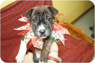 American Pit Bull Terrier Mix Puppy for adoption in Rockingham, North Carolina - Piper
