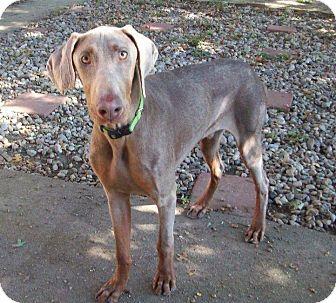 Doberman Pinscher Puppy for adoption in New Richmond, Ohio - Harold--pending