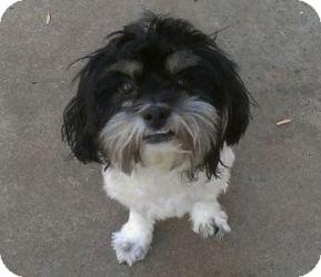 Shih Tzu/Lhasa Apso Mix Dog for adoption in Shawnee Mission, Kansas - Bradley Tank