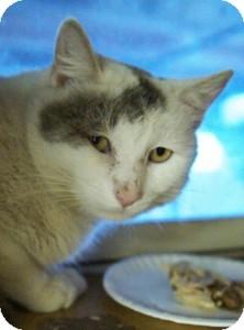 Domestic Shorthair Cat for adoption in Medford, Massachusetts - Earl