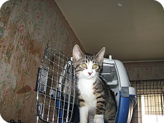 Domestic Shorthair Kitten for adoption in london, Ontario - Sneaker