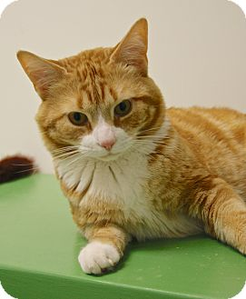 Domestic Shorthair Cat for adoption in Gloucester, Massachusetts - Henry