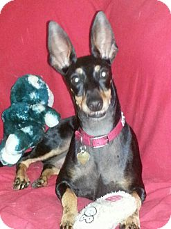 Manchester Terrier Mix Dog for adoption in Orland Park, Illinois - Lucy