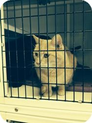 Domestic Shorthair Cat for adoption in La Grange Park, Illinois - Blackbeary & Biscuit