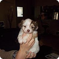Adopt A Pet :: Autumn - Apex, NC