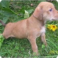 Adopt A Pet :: Chablis - Plainfield, CT