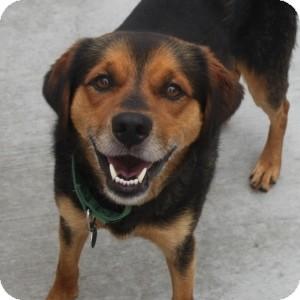 Shepherd (Unknown Type)/Beagle Mix Dog for adoption in Naperville, Illinois - Chevy