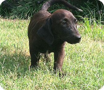Dachshund/Basset Hound Mix Puppy for adoption in Waterbury, Connecticut - JULIUS