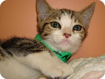 Domestic Shorthair Cat for adoption in Miami, Florida - Imani