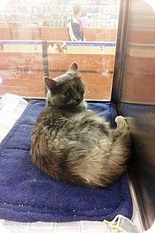 Domestic Shorthair Cat for adoption in Anoka, Minnesota - Millie