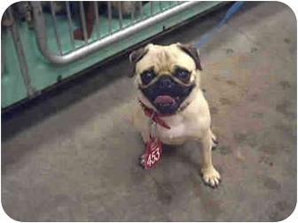 Pug Mix Dog for adoption in Sacramento, California - Baylee !