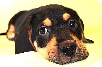 Basset Hound/Labrador Retriever Mix Puppy for adoption in Westport, Connecticut - *Laredo - PENDING