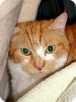 Domestic Shorthair Cat for adoption in Brooksville, Florida - Whisper
