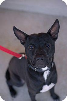 Labrador Retriever/American Staffordshire Terrier Mix Dog for adoption in Lancaster, California - Flip