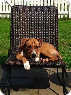 Pit Bull Terrier Mix Puppy for adoption in Lombard, Illinois - Gaby