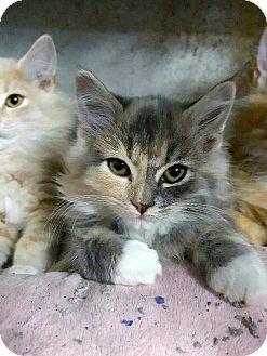 Ragdoll Kitten for adoption in Arcadia, California - Birch