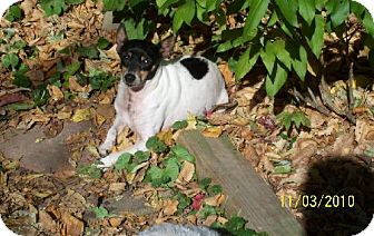 Rat Terrier Dog for adoption in Buffalo, New York - Cookie