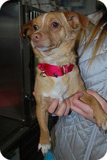 Chihuahua Mix Dog for adoption in Berea, Ohio - Socks