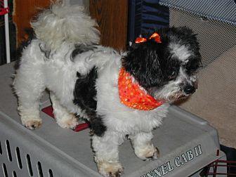 Shih Tzu/Yorkie, Yorkshire Terrier Mix Dog for adoption in Homer Glen, Illinois - Cricket