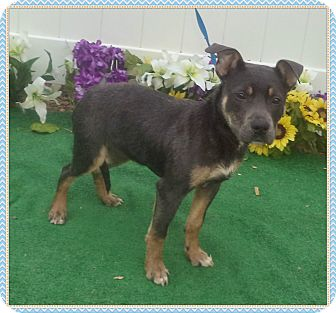 Pit Bull Terrier/Labrador Retriever Mix Puppy for adoption in Marietta, Georgia - SKYLEIGH SEE ALSO JACKSON
