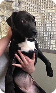 American Pit Bull Terrier/Labrador Retriever Mix Dog for adoption in Cashiers, North Carolina - Quinn