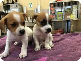 Chihuahua/Jack Russell Terrier Mix Puppy for adoption in New Smyrna Beach, Florida - Harper