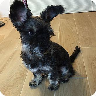 Schnauzer (Miniature)/Shih Tzu Mix Puppy for adoption in Redondo Beach, California - Randy