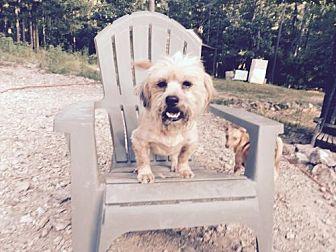 Terrier (Unknown Type, Medium)/Shih Tzu Mix Dog for adoption in Waldron, Arkansas - MONTE BARKLEY