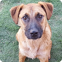 Pointer/Shepherd (Unknown Type) Mix Dog for adoption in Las Cruces, New Mexico - Harvey