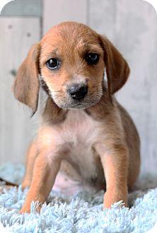 Terrier (Unknown Type, Medium) Mix Puppy for adoption in Waldorf, Maryland - Gail